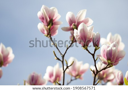 Magnolia flowers with light blue sky background