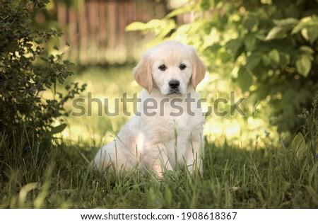 golden retriever puppy in summer Royalty-Free Stock Photo #1908618367