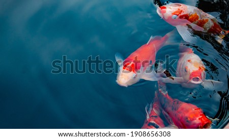 Japan koi fish or Fancy Carp swimming in a black pond fish pond. Popular pets for relaxation and feng shui meaning. Popular pets among people. Asians love to raise it for good fortune.