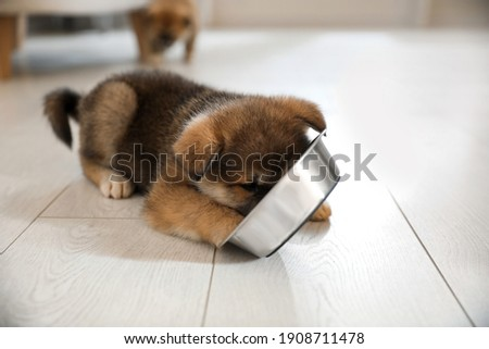 Adorable Akita Inu puppy eating from feeding bowl indoors Royalty-Free Stock Photo #1908711478