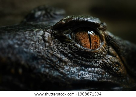 Cuvier's Smooth-fronted Caiman - Paleosuchus palpebrosus, eye detail of small South American crocodile, Brazil. Royalty-Free Stock Photo #1908871594