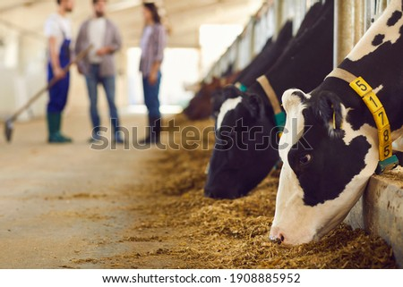 Black and white cows with numbers eating grass in stalls and young farm workers standing and communicating at background, selective focus, close-up. Agriculture and modern cow farm concept