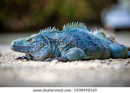 Extremely Rare Blue Iguana (Cyclura lewisi) is protected in the Queen Elizabeth II Botanic Park, where you can find the real natural habitat of this surprising creature. East End, Grand Cayman, Cayman Royalty-Free Stock Photo #1908998569