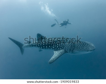 Whale shark and diver in deep water Royalty-Free Stock Photo #1909019833