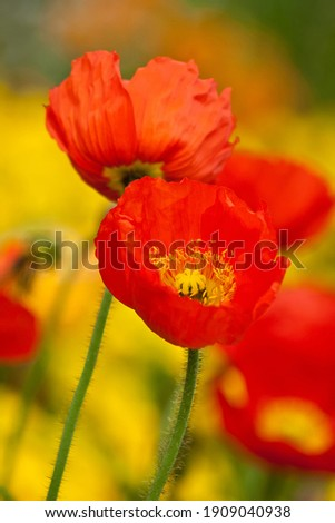 close up of red poppies with red heart and yellow bokeh