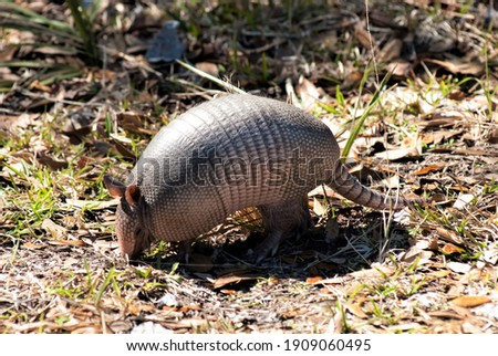"""Armadillos (meaning """"little armored ones"""" in Spanish) are New World placental mammals in the order Cingulata. Royalty-Free Stock Photo #1909060495"""