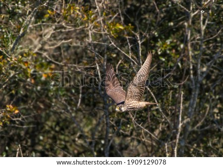 brown juvenile peregrine falcon, peregrinus, flying left with both wings up, showing under side and top of both wings, with green trees in the background