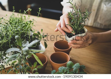 Indoor gardening. Female hands replant herbs. Royalty-Free Stock Photo #1909130434
