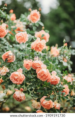 Delicate peach roses in a full bloom in the garden. Close-up photo. Dark green background. Orange floribunda rose in the garden. Garden concept. Rose flower blooming on background blurry roses flower  Royalty-Free Stock Photo #1909191730