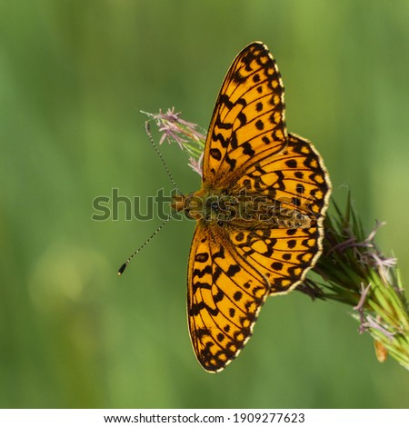 Small pearl-bordered fritillary or Silver-bordered fritillary (Boloria selene) is an orange butterfly spotted with black. Butterfly from Europe and North America, wild fauna of France. Open wings Royalty-Free Stock Photo #1909277623