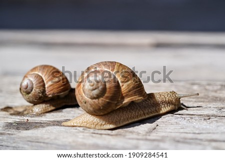 Burgundy snail (Helix pomatia) or escargot is a species land snail. Burgundy snail on a old stump in old garden, May  2020. Royalty-Free Stock Photo #1909284541