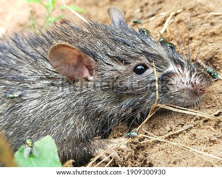 The lesser bandicoot rat, or Indian mole-rat, is a giant rat of Southern Asia. They can be up to 40 cm long, considered as a pest in cereal crops and in gardens.