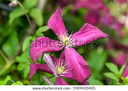 Clematis ' Madame Julia Correvon' a summer flowering shrub plant with a red summertime flower which opens from July to September, stock photo image