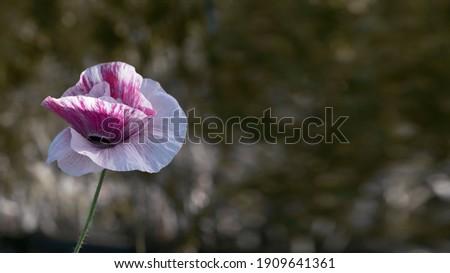 Background picture with poppy. Poppy originality.Decorative flower, odorless.