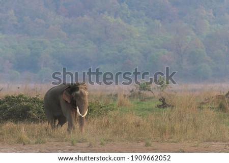 Adult Asian tusker walking in the grassland with the backdrop of Himalayan hills in Corbett Tiger Reserve of Uttarakhand state in India Royalty-Free Stock Photo #1909662052