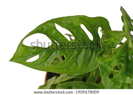 Leaf with holes of tropical 'Monstera Adansonii' or 'Monstera Monkey Mask' vine houseplant isolated on white background Royalty-Free Stock Photo #1909678009