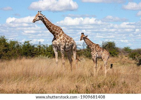 Giraffe (Giraffa camelopardalis) in the Savuti region of northern Botswana, Africa. The giraffe is an African artiodactyl mammal, the tallest living terrestrial animal and the largest ruminant. Royalty-Free Stock Photo #1909681408