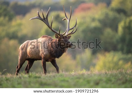 A bull elk in autumn during the rut Royalty-Free Stock Photo #1909721296