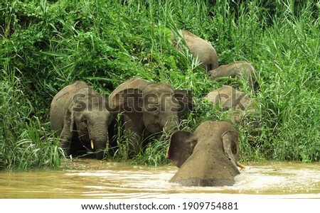 Herd of elephants playing on drinking by the river bank, Kinabatangan, Malaysia Royalty-Free Stock Photo #1909754881