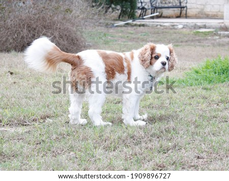 A purebred king charles spaniel  Royalty-Free Stock Photo #1909896727