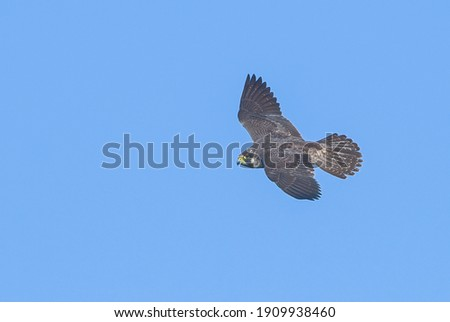 peregrine falcon (Falco peregrinus) with grey colored feathers flying left while looking at camera, with bright blue sky background