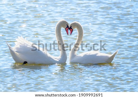 The couple of swans with their necks form a heart. Mating games of a pair of white swans. Swans swimming on the water in nature. Valentine's Day background. The mute swan, latin name Cygnus olor. Royalty-Free Stock Photo #1909992691