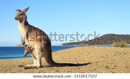 Kangaroo with baby in pouch ocean background on grass in Australia