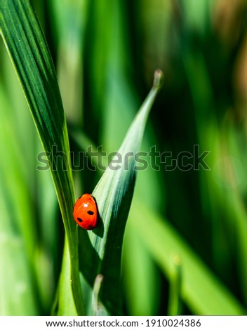 ladybug placed on a young green leaf of wheat, where the red color of the ladybug stands out from the green and out of focus background Royalty-Free Stock Photo #1910024386