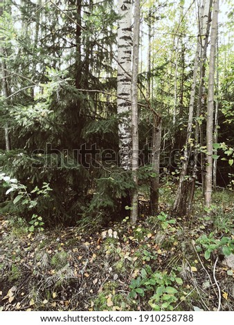 Autumn forest with birches, fir-tree and a Anita under fir-tree. Royalty-Free Stock Photo #1910258788