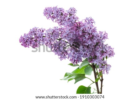 bouquet of beautiful spring flowers of lilac isolated on white background Royalty-Free Stock Photo #1910303074
