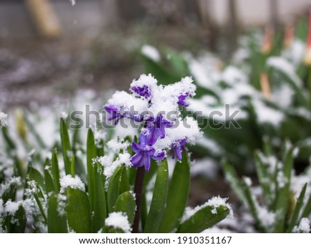 early blooming spring violet hyacinth flower sprinkled with snow. changeable weather. Hi spring. Between winter and spring. Surprise from nature Royalty-Free Stock Photo #1910351167