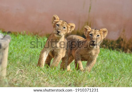 A picture of two small baby lion
