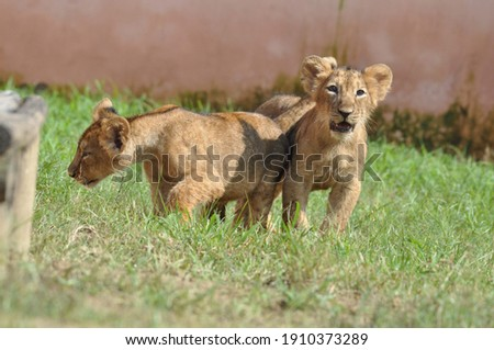 picture of a two baby lions in the zoo