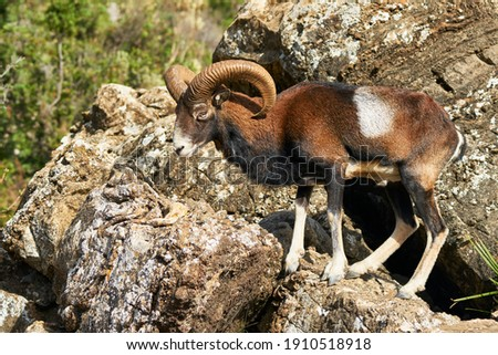 male common mouflon (Ovis aries musimon) in mating season in Marbella. Andalusia, Spain Royalty-Free Stock Photo #1910518918
