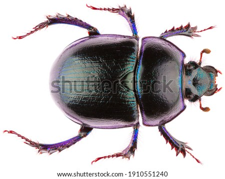 Anoplotrupes stercorosus dor beetle, is a species of earth-boring dung beetle from the family Geotrupidae. Dorsal view of dung beetle Anoplotrupes stercorosus isolated on white background. Royalty-Free Stock Photo #1910551240