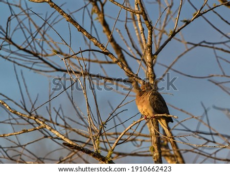 mourning dove, Zenaida macroura perched and resting on bare tree with no leaves with blue sky background, morning light