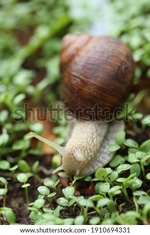 Snail on a green leaf . Snail mucin.Large brown snail on microgreen clover on blurred garden background.Snail bio extract. An ingredient in cosmetics. Insects in the garden Royalty-Free Stock Photo #1910694331