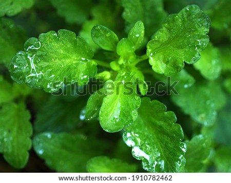 Closeup green leaves of pansy flower plants with rain drops in garden ,macro image ,wet leaves ,nature tiny leaf