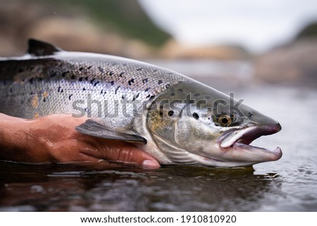 A fisherman releases wild Atlantic silver salmon into the cold water Royalty-Free Stock Photo #1910810920