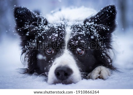 Border collie dog love being outside in the snow at winter, playing hiding, an taking photos