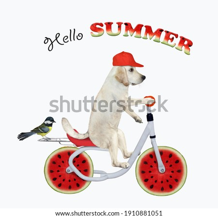A dog labrador in a red cap is riding a watermelon bicycle. Hello summer. White background. Isolated.