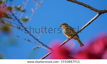 the picture is composed of a sparrow sitting on Indian gooseberry brach with some pink Bokeh of Rhododendrons.