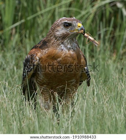 Red-shouldered Hawk (Buteo lineatus) sitting in tall grass with fresh caught brown grasshopper in its yellow beak, looking right with eye detail