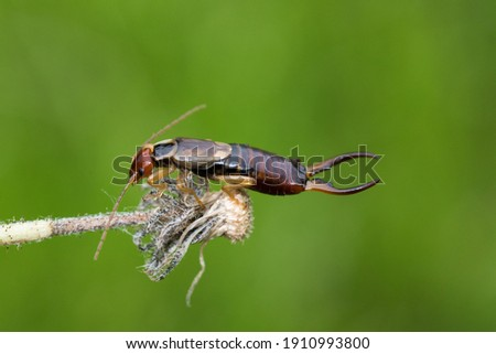 Beautiful Earwig Insect Close Up