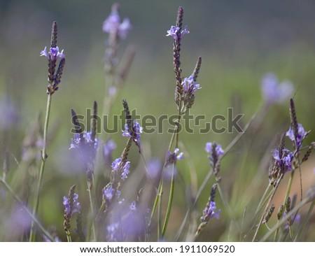 Flora of Gran Canaria - Canarian lavender, Lavandula canariensi, natural macro floral background Royalty-Free Stock Photo #1911069520