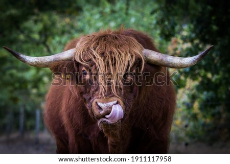 Highland cow calf black and white cattle  Royalty-Free Stock Photo #1911117958