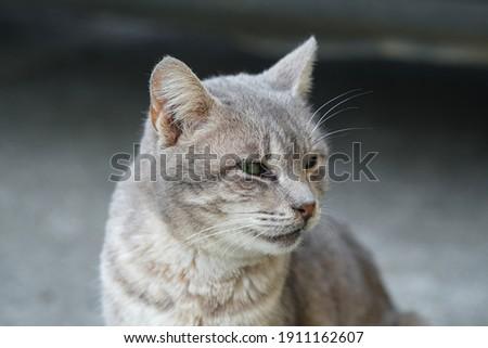 Green feline eyes cat face portrait close up,feline pet animals wallpaper Royalty-Free Stock Photo #1911162607