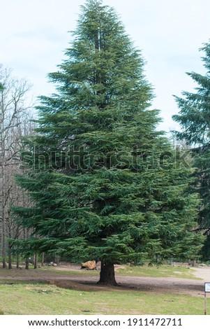 A Vertical shot of Blue Atlas cedar tree (Cedrus Atlantica) in its natural habitat Royalty-Free Stock Photo #1911472711
