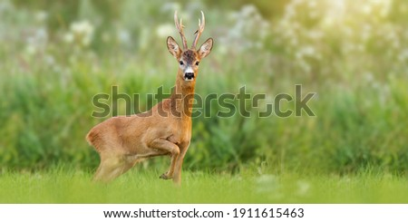 Majestic roe deer, capreolus capreolus, buck with large antlers approaching on green meadow in summer. Male mammal with orange fur walking through grass at sunrise with copy space. Animal wildlife. Royalty-Free Stock Photo #1911615463