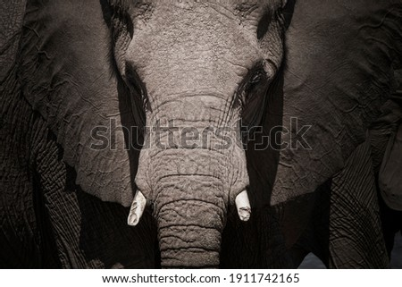 closeup and low key portrait of the head of an elephant with short tuskers, Etosha National Park Namibia Royalty-Free Stock Photo #1911742165